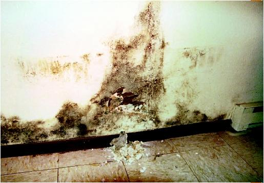 Black mold at the bottom of a wall in a home on the Turtle Mountain Indian Reservation. (AP/Wide World Photos. Reproduced by permission.)